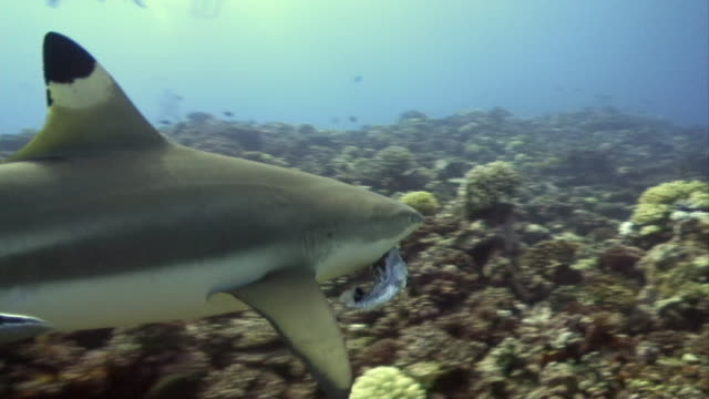 ms, blacktip reef shark (carcharhinus melanopterus) swimming with prey in mouth, moorea island, tahiti, french polynesia - tahiti stock videos & royalty-free footage