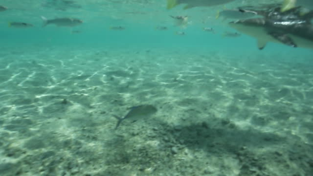blacktip reef shark swims in tahiti, underwater point of view - tahiti video stock e b–roll