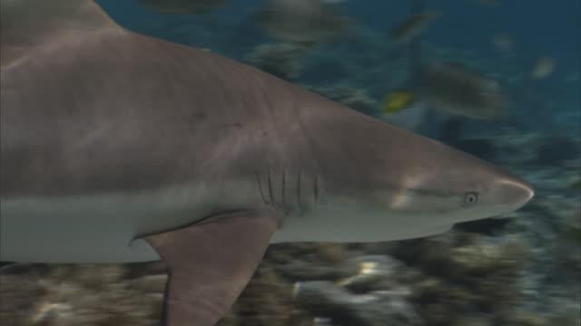 blacktip reef shark (carcharhinus melanopterus) swims on coral reef, french polynesia - ペレスメジロザメ点の映像素材/bロール