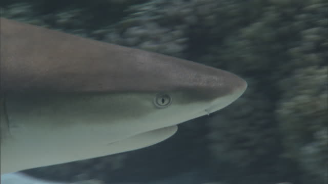 blacktip reef shark (carcharhinus melanopterus) swims on coral reef, french polynesia - ペレスメジロザメ点の映像素材/bロール