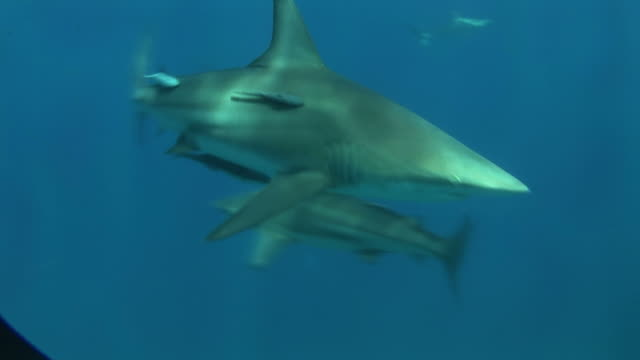 Blacktip reef shark (Carcharhinus melanopterus) with remora fish. Aliwal Shoal, South Africa