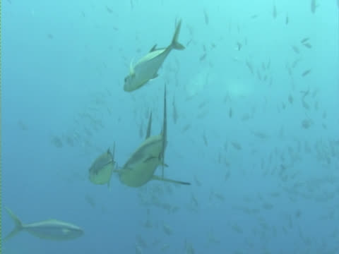 blacktip reef shark (carcharhinus melanopterus) with unidentified jacks in attendance. palau, western pacific - reef shark stock videos and b-roll footage