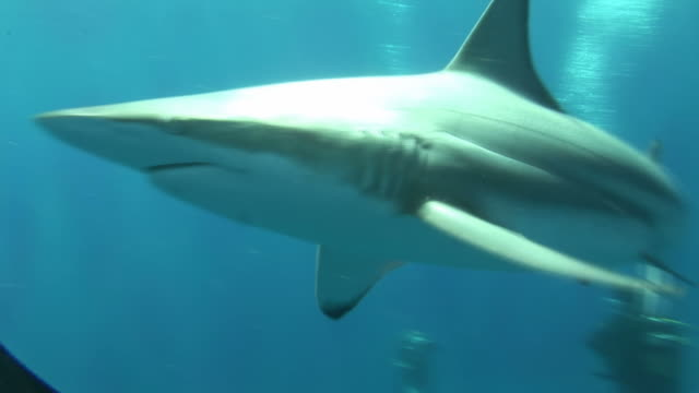 blacktip reef sharks (carcharhinus melanopterus) near divers. aliwal shoal, south africa - ドラム容器点の映像素材/bロール