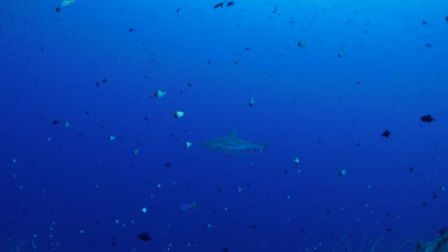 blacktip shark approach scuba diver undersea - blacktip shark stock videos & royalty-free footage