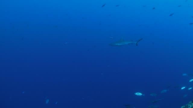 blacktip shark at deep sea, palau - jack fish stock videos and b-roll footage