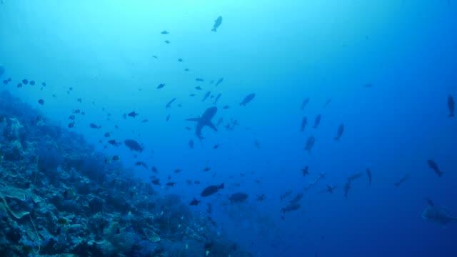vídeos de stock e filmes b-roll de blacktip shark cruising undersea coral reef - tubarão galha preta