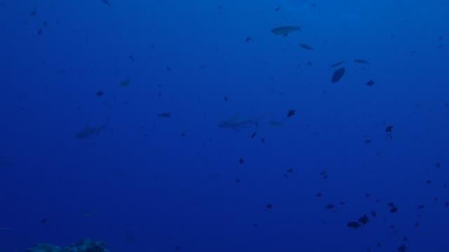 blacktip shark cruising undersea coral reef - blacktip shark stock videos & royalty-free footage