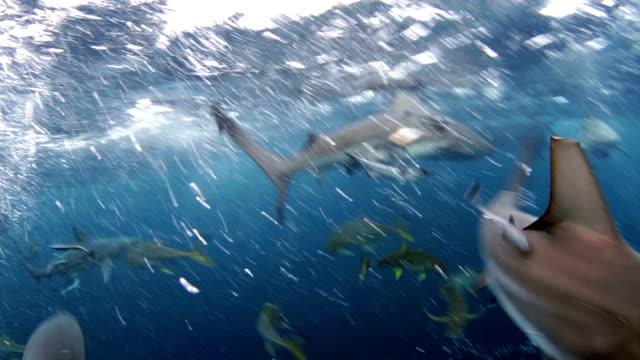 vídeos de stock e filmes b-roll de blacktip shark feeding frenzy 2 - tubarão galha preta