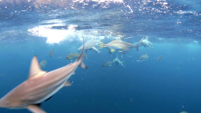 vídeos de stock e filmes b-roll de blacktip shark (carcharhinus limbatus) feeding frenzy - tubarão galha preta