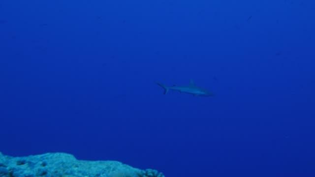 vídeos de stock e filmes b-roll de blacktip shark swimming at undersea reef - tubarão galha preta
