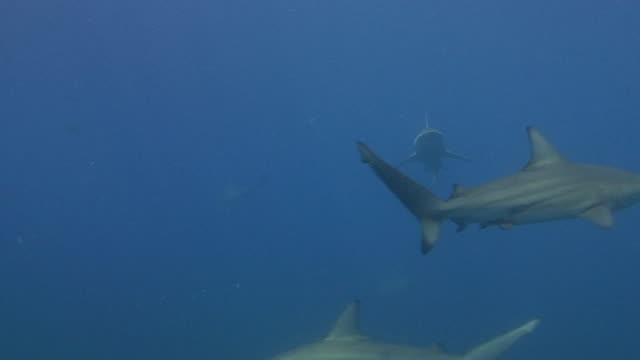 vídeos de stock, filmes e b-roll de tubarões galha-preta (carcharhinus limbatus - grupo pequeno de animais