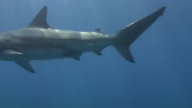 blacktip shark (carcharhinus limbatus) - medium group of animals stock videos & royalty-free footage