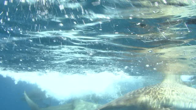 stockvideo's en b-roll-footage met blacktip sharks (carcharhinus limbatus) at the surface - 40 seconds or greater