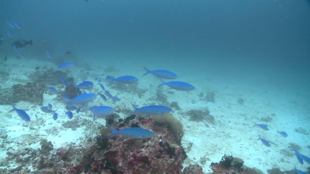 Black-tipped reef sharks (Carcharhinus melanopterus), unicornfish and lunar fusilier (Caesio lunaris) school, Maldives