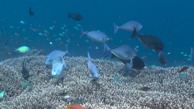 blacktongue unicornfish at cleaning station, bali. - coral stock videos & royalty-free footage