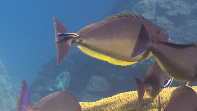 blacktongue unicornfish at cleaning station, bali. - wrasse stock videos & royalty-free footage