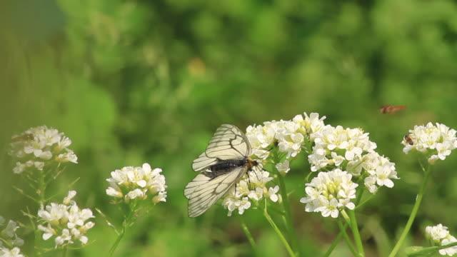 black-veined white butterfly (aporia crataegi) - gliedmaßen körperteile stock-videos und b-roll-filmmaterial