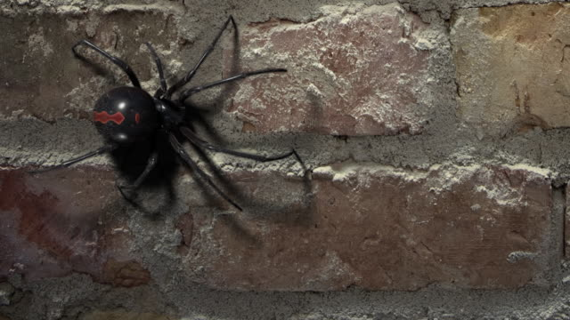 blackwidow spider walking on a brick wall - spider stock videos & royalty-free footage