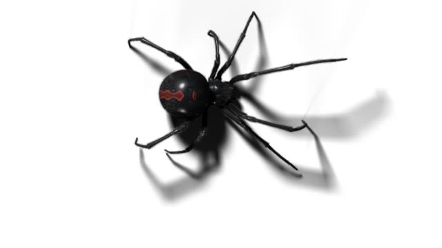 blackwidow spider with alpha channel on white and gray backgrounds - alpha channel stock videos & royalty-free footage