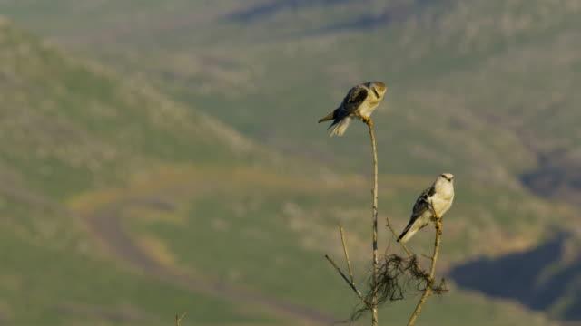 black-winged kite (Elanus caeruleus) - a diurnal bird of prey on a dry tree