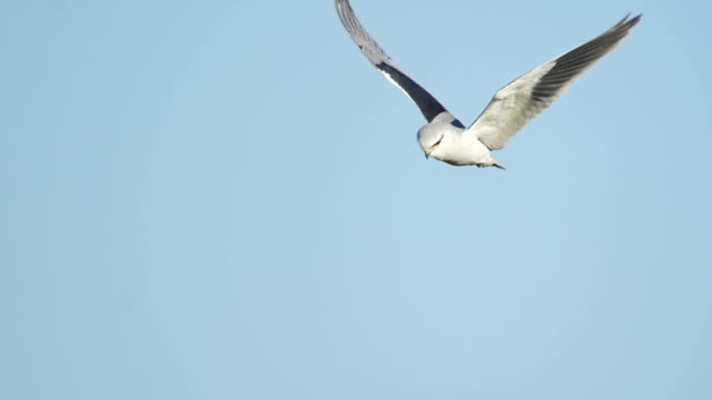 Black-winged kite (Elanus caeruleus) hovering over open grassland with blue sky in background