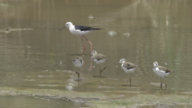 Black-winged stilt 2