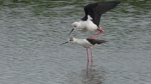 black-winged stilt bird are breeding in the swamp - stilts stock videos and b-roll footage