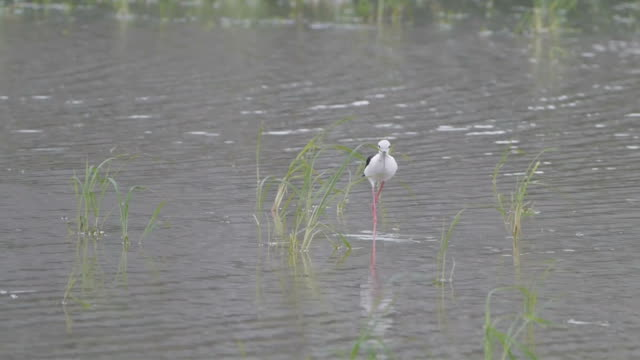 vídeos de stock e filmes b-roll de black-winged stilt bird feeding. - pescoço humano