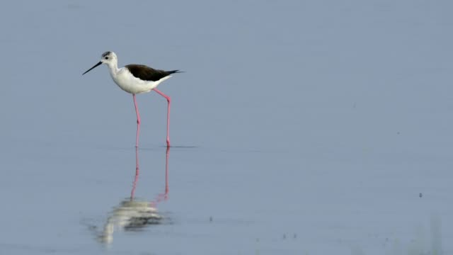 vidéos et rushes de black-winged stilt, himantopus himantopus, in spring - water bird