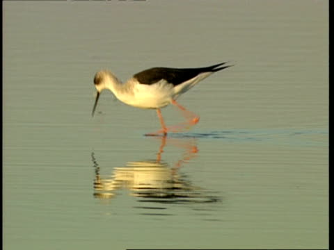 ms black-winged stilt wading and feeding in water - 食糧を捜す点の映像素材/bロール