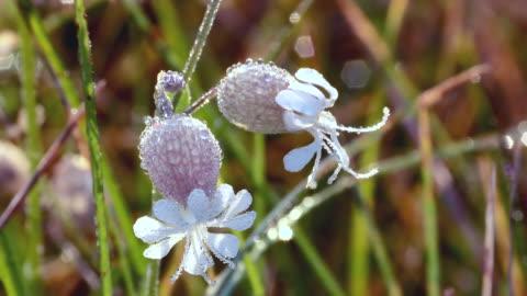 bladder campion flower close up with dew drops in spring - blase harnapparat stock-videos und b-roll-filmmaterial