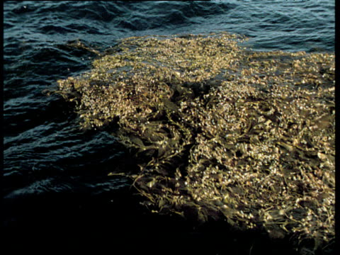 stockvideo's en b-roll-footage met bladder wrack bobs on water's surface in sea swell, california - blaas urinewegstelsel