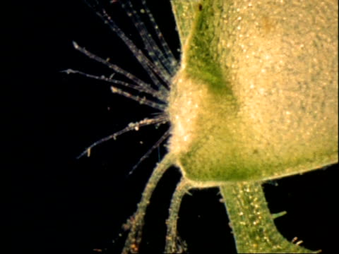 bladderwort trigger hairs, uk - carnivorous plant stock videos and b-roll footage