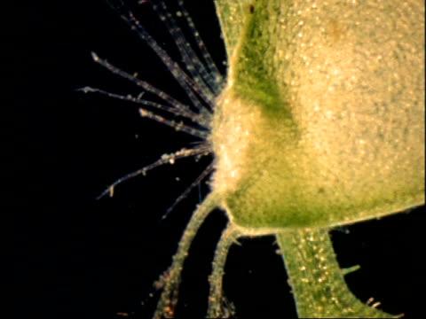 vídeos de stock, filmes e b-roll de bladderwort trigger hairs, uk - carnivorous plant