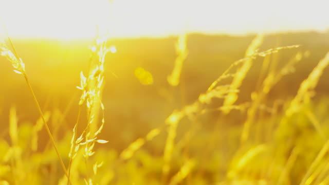 stockvideo's en b-roll-footage met hd dolly: blades of grass at sunset - kleurtoon