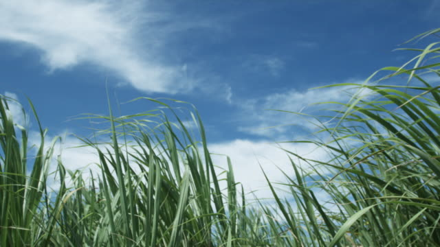 vidéos et rushes de cu la pan blades of grass blowing in wind, st. michael's, bridgetown, barbados - herbe
