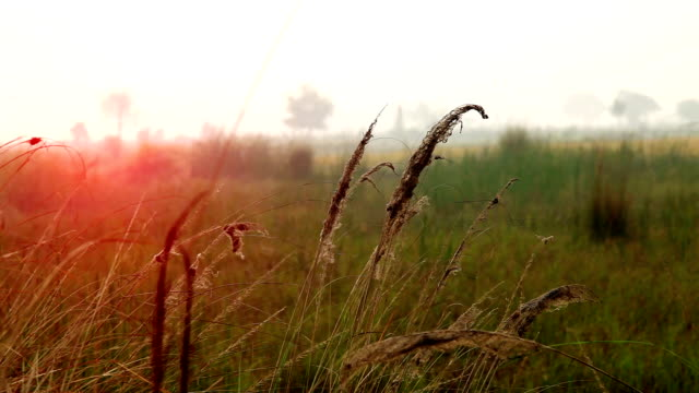 Blades of grass swaying through wind in the nature.