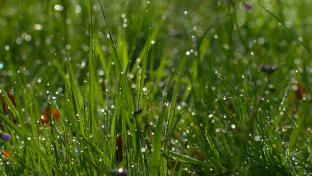 blades of grass with dew drops