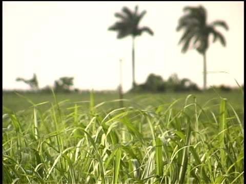 cu, selective focus, blades of green grass swaying in breeze, cuba  - palma nana video stock e b–roll