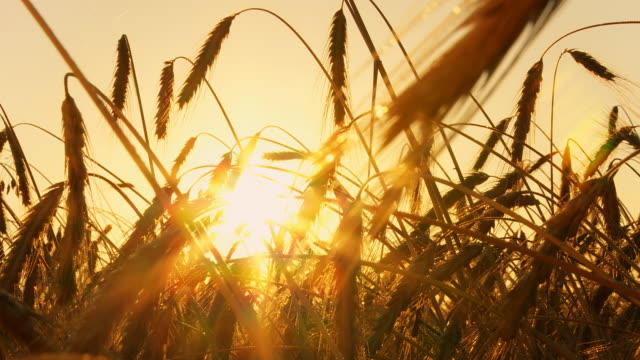 hd time lapse: blades of wheat  at sunrise - ear of wheat stock videos and b-roll footage