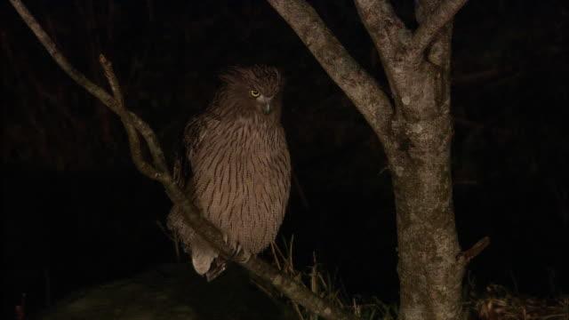 Blakiston's fish owl in Hokkaido
