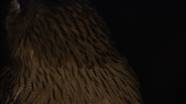 blakiston's fish owl in hokkaido - einzelnes tier stock-videos und b-roll-filmmaterial