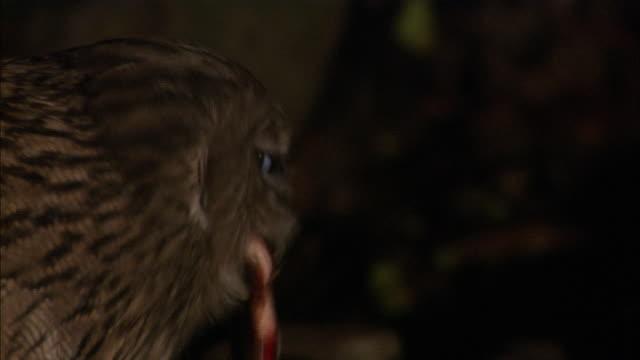 blakiston's fish owl in hokkaido - fisch stock-videos und b-roll-filmmaterial