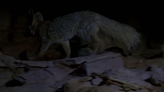 blanford's fox - video stock videos & royalty-free footage