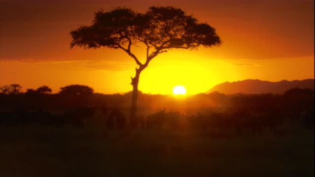 A blazing sun sinks beyond a herd of wildebeests that move across the savanna. Available in HD.