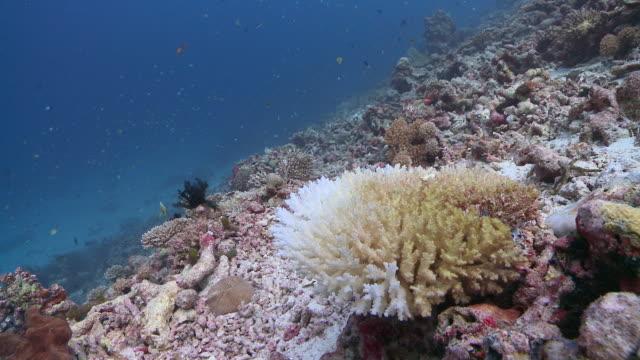 MS Bleached coral reef / Hanifaru, Baa Atoll, Maldives