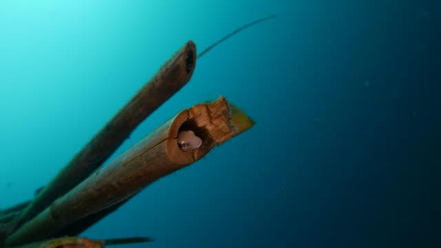 Blenny Fisch, Unterwasser künstliche Gebilde aus Bambus
