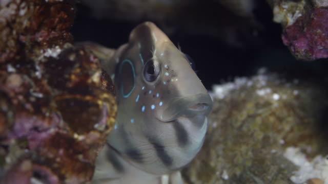 Schleimfisch marine Fisch