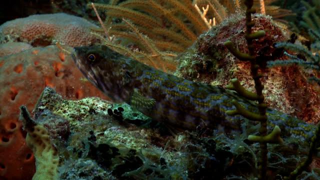 Schleimfisch Tropischer Fisch