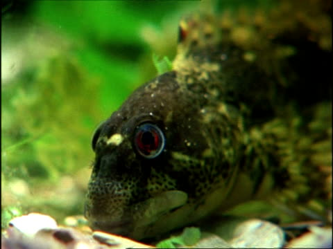 Blenny (Blennius) underwater, CU head resting, England, UK
